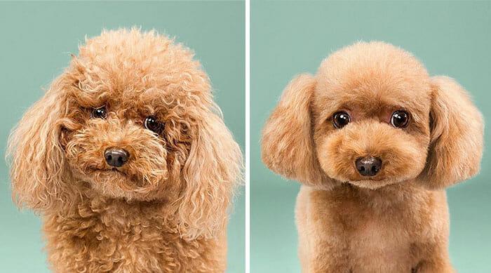 cachorro-antes-depois-tosa
