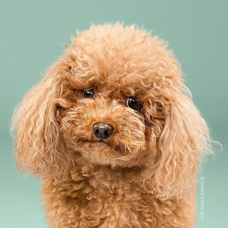 cachorro-antes-depois-tosa_1a