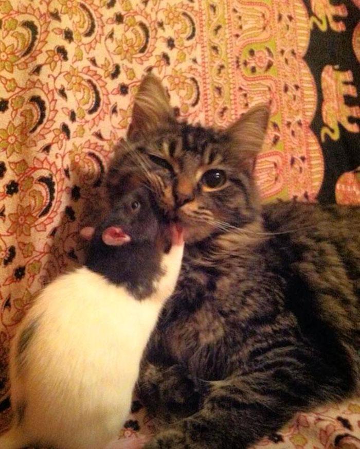gatos-ratos-amigos_11