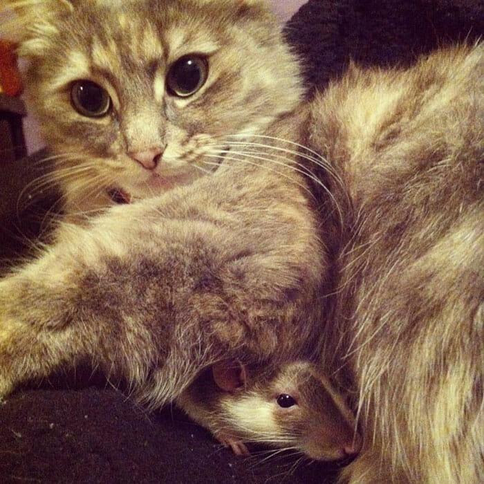 gatos-ratos-amigos_12