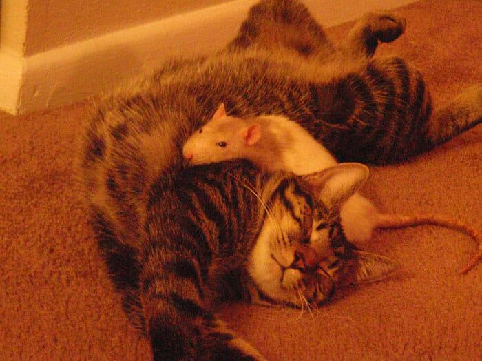 gatos-ratos-amigos_14