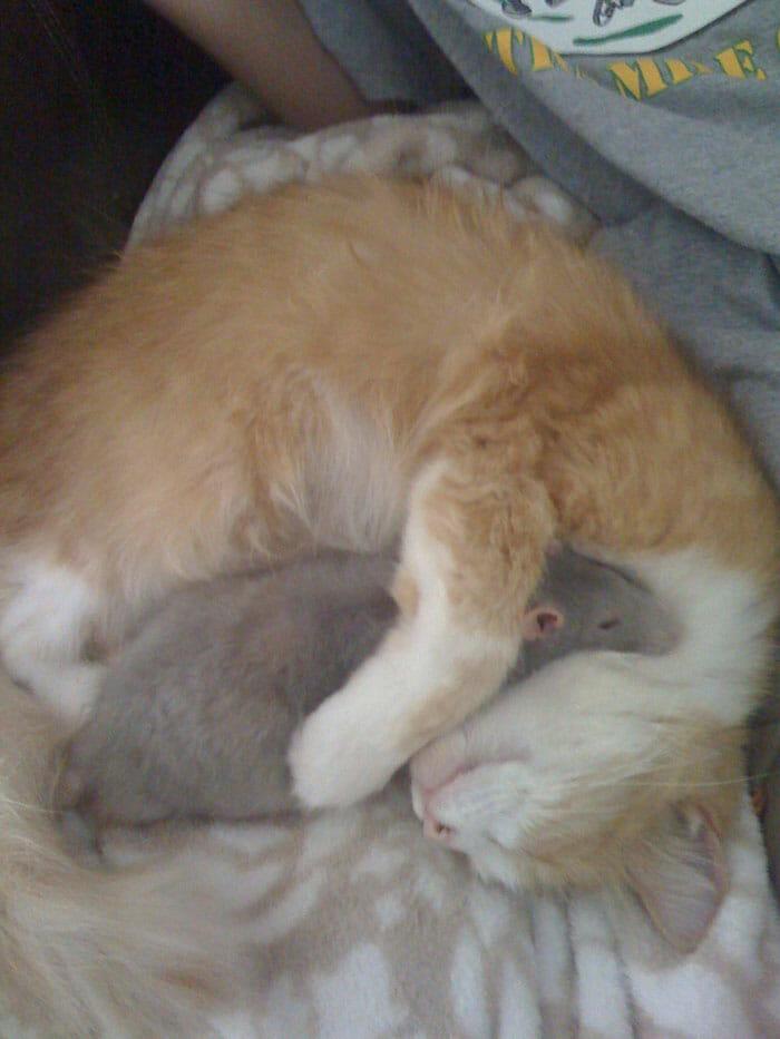 gatos-ratos-amigos_16