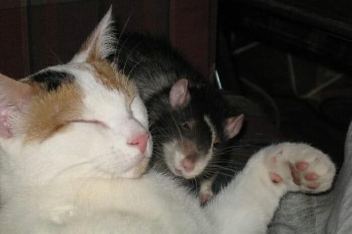 gatos-ratos-amigos_2