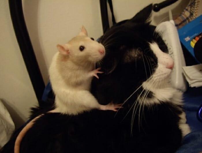 gatos-ratos-amigos_3