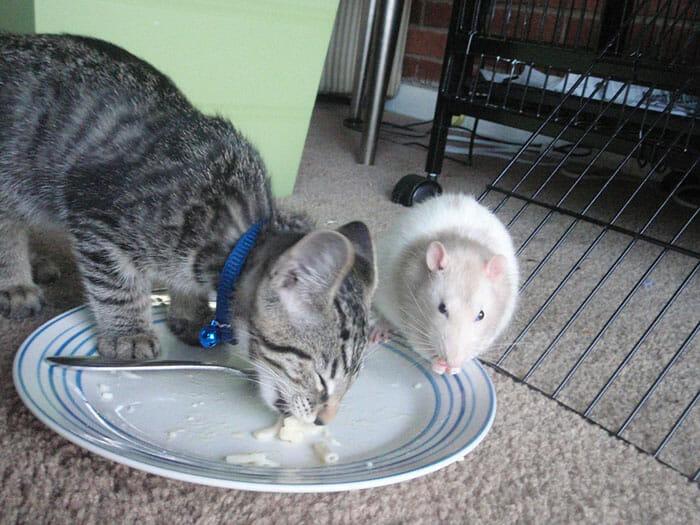 gatos-ratos-amigos_5