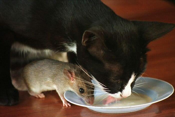 gatos-ratos-amigos_6