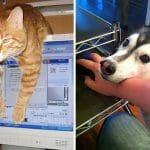30 Cachorros e Gatos Que Adoram Nos Tirar da Frente do Computador