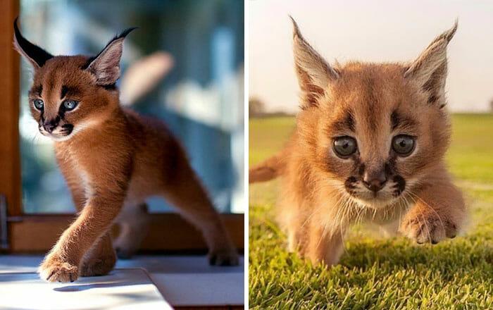 gato-caracal