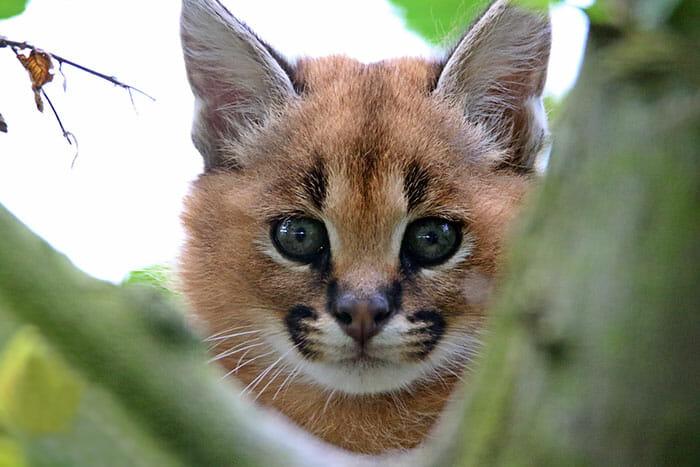 gato-caracal_1