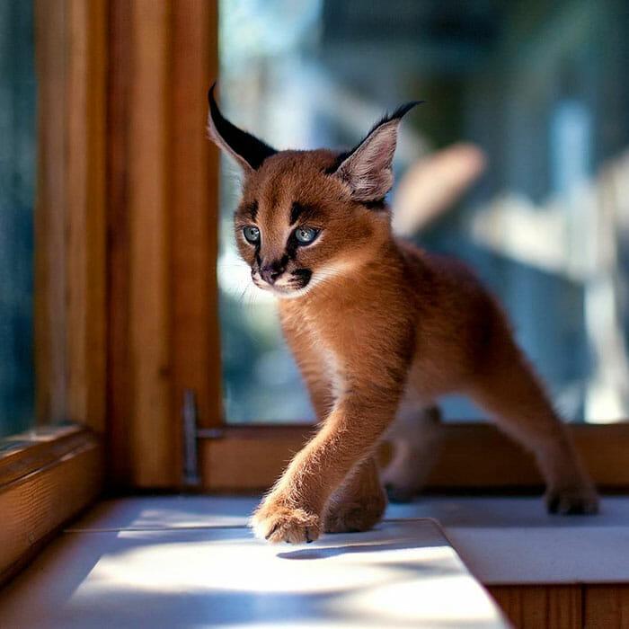 gato-caracal_10