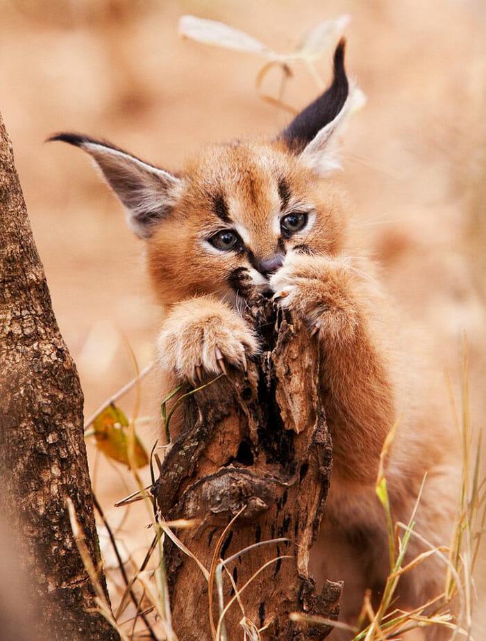 gato-caracal_11