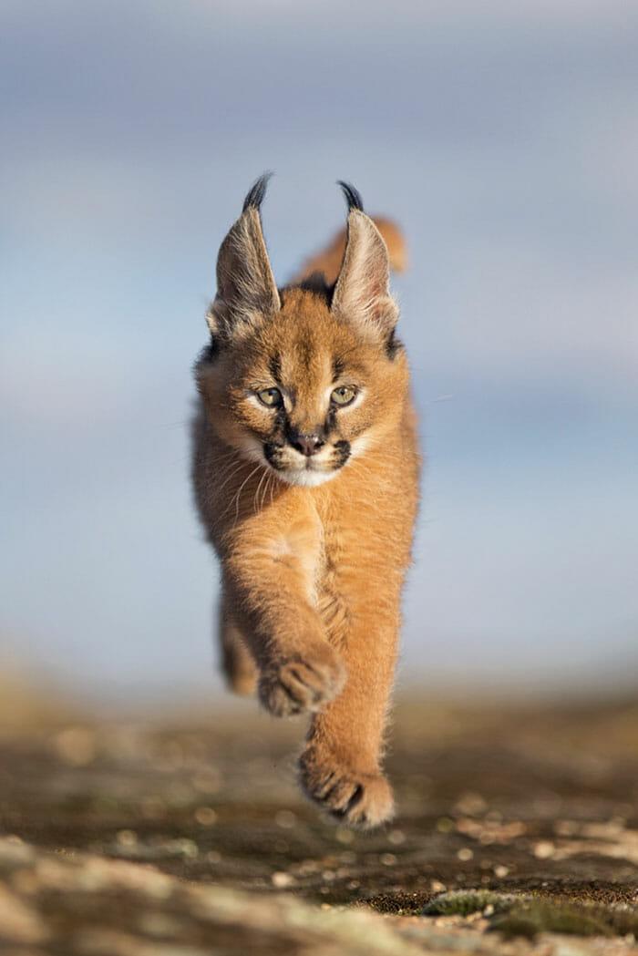 gato-caracal_12