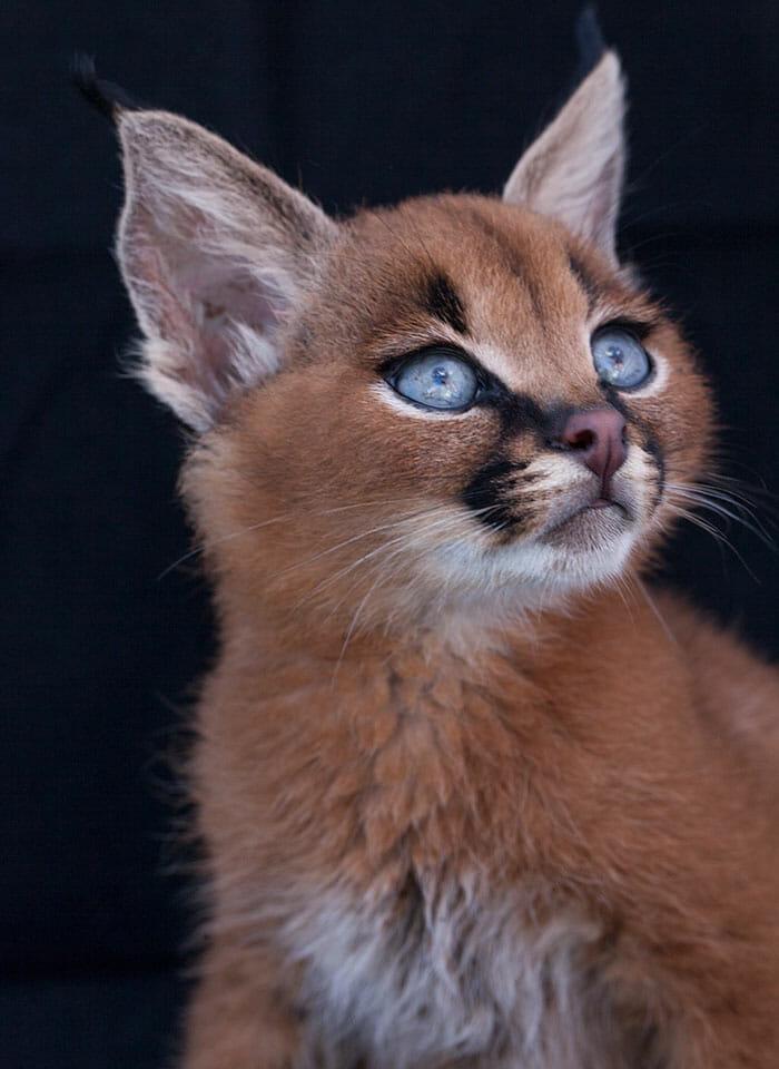 gato-caracal_14