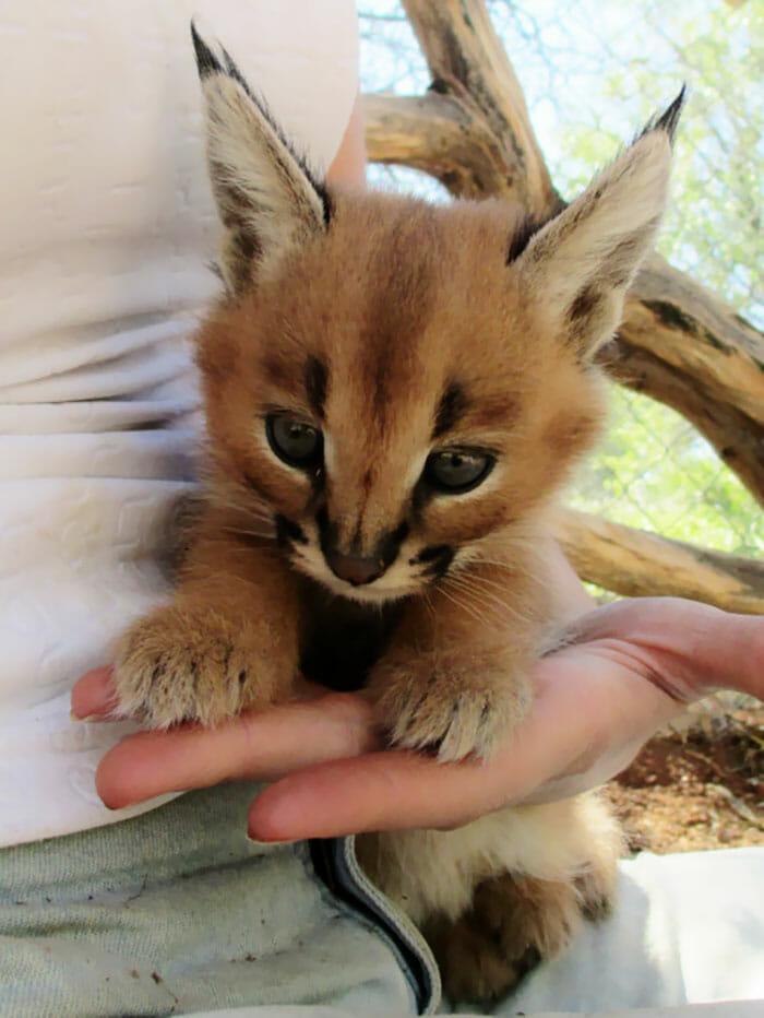 gato-caracal_2