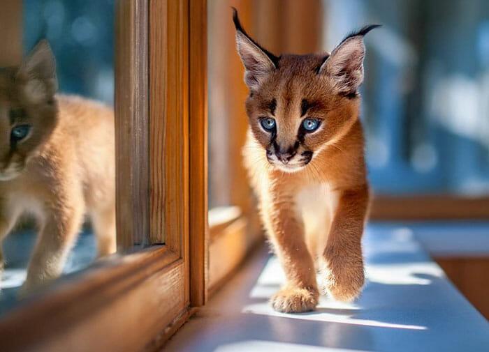 gato-caracal_3