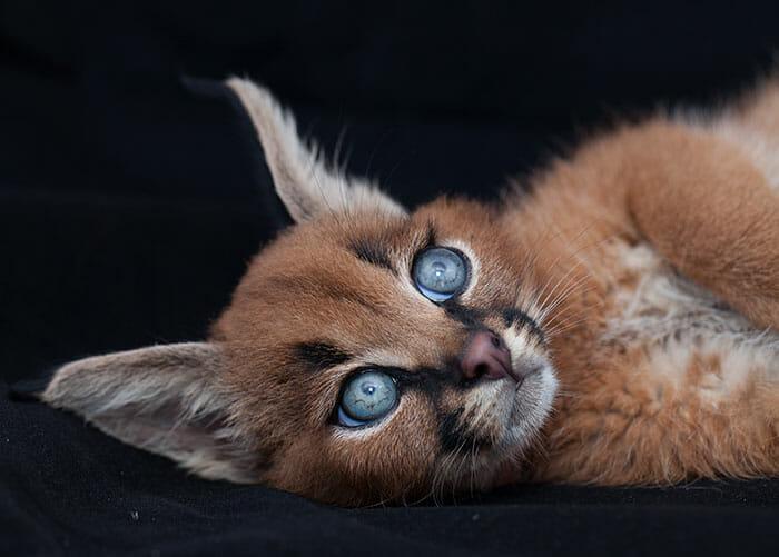gato-caracal_5