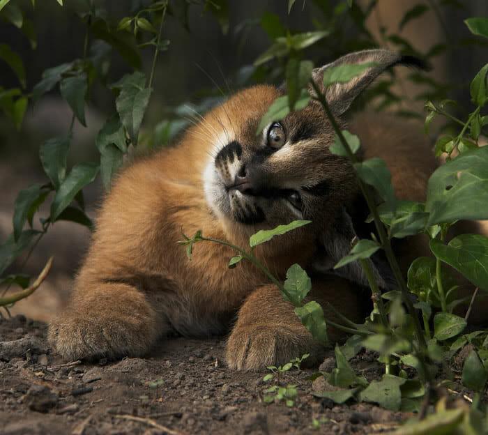 gato-caracal_7