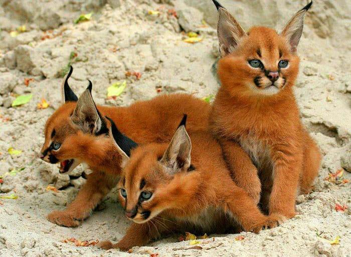 gato-caracal_8