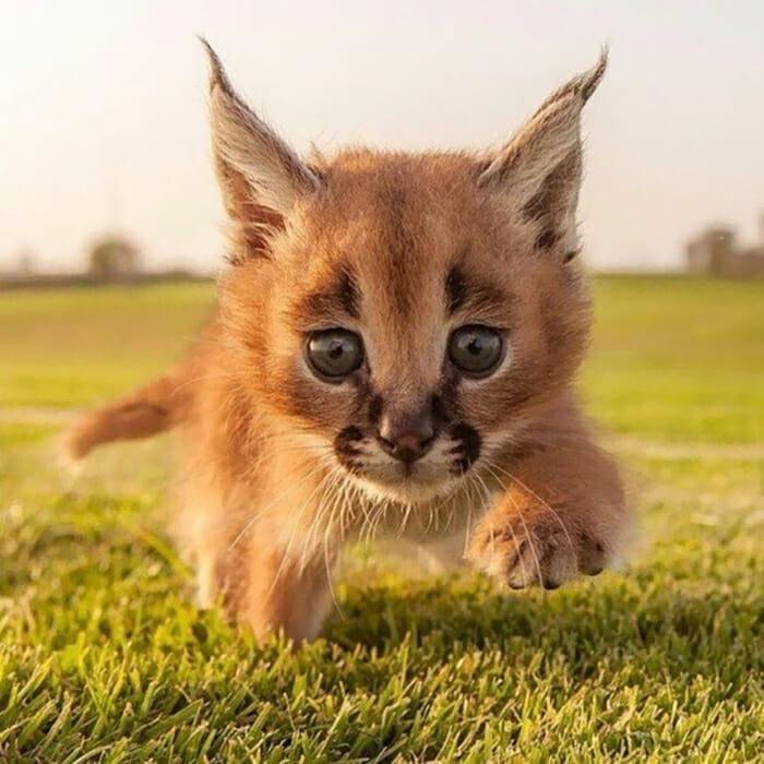gato-caracal_9