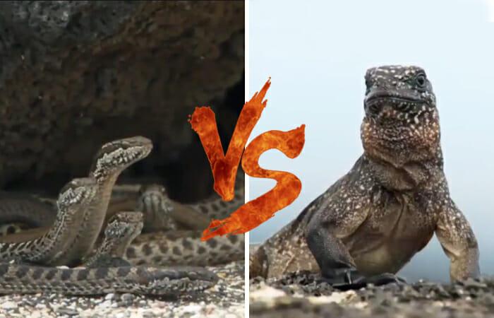 video-fuga-iguana-cobras