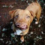 A História De Picasso: O Cachorro Que Ninguém Quis Adotar Por Causa De Seu Focinho Torto