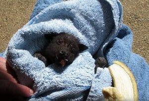 VÍDEO: Este Filhote De Morcego Resgatado É A Coisa Mais Linda Que Você Vai Ver Hoje