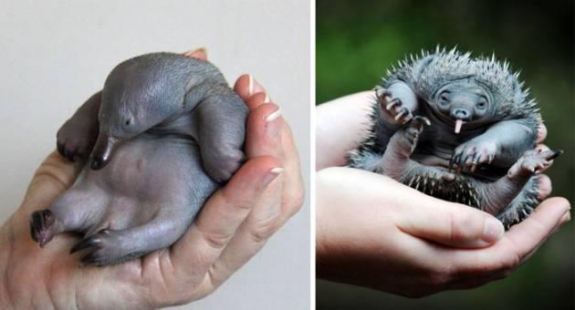 10 Bebês de Animais Raros Que Farão Você Morrer De Fofura