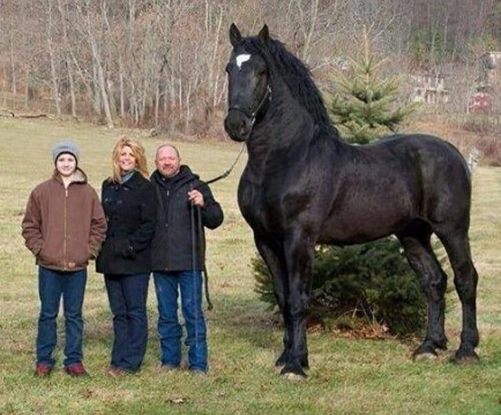 Animais muito grandes - Cavalo gigante