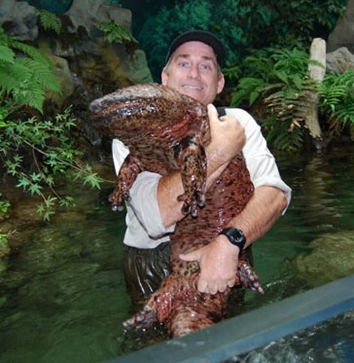 Animais muito grandes - Salamandra gigante