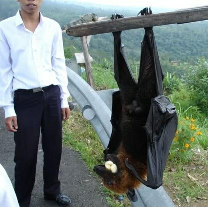 Animais muito grandes - morcego gigante