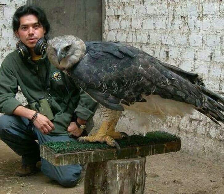 Animais muito grandes - águia gigante