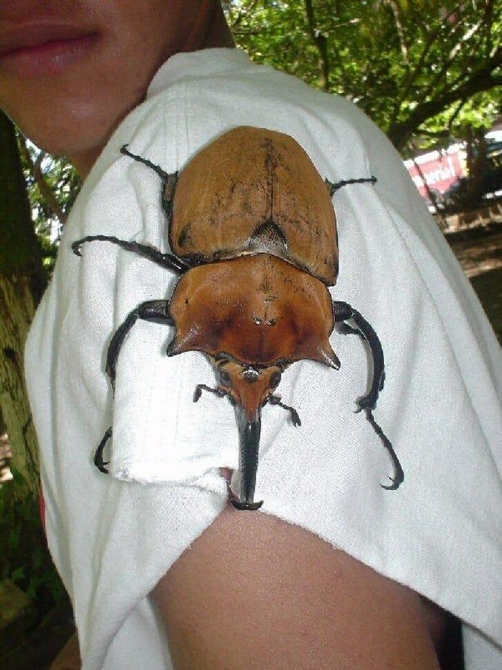 Animais muito grandes - Besouro gigante