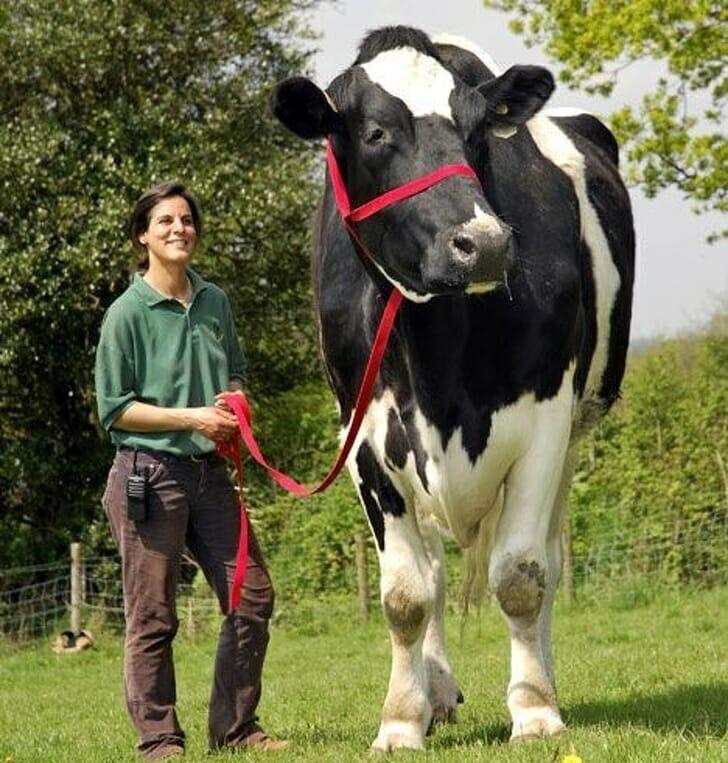Animais muito grandes - Vaca gigante
