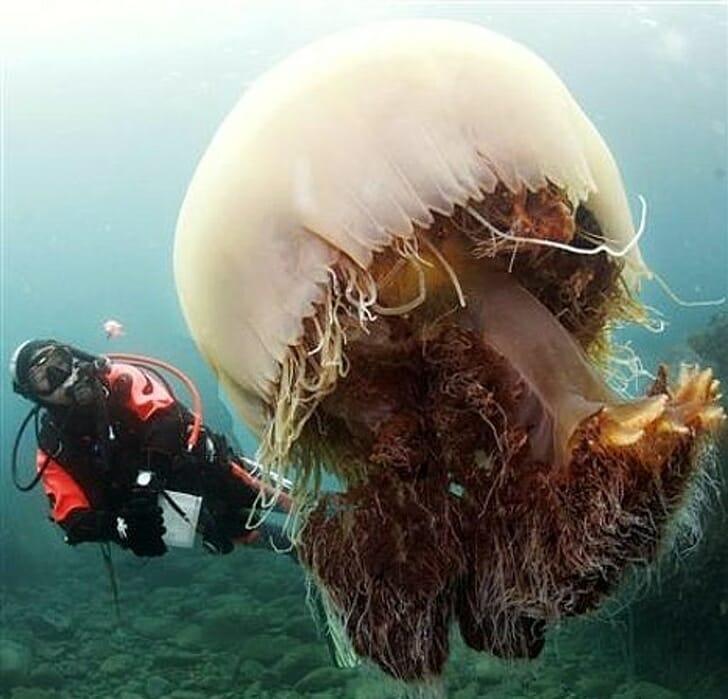 Animais muito grandes - Água-viva gigante