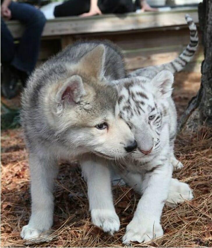 22 Animais Que Têm Gêmeos De Outras Espécies