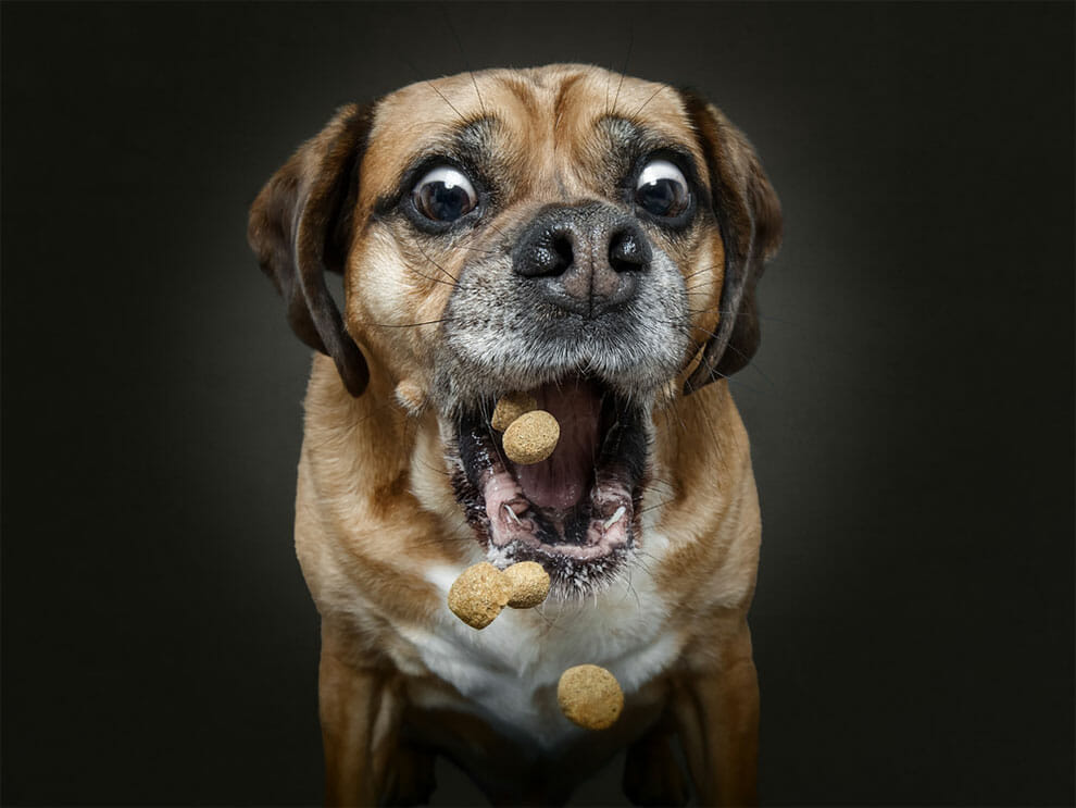 15 Fotos Hilárias de Cães Tiradas Antes de Abocanhar Petiscos!