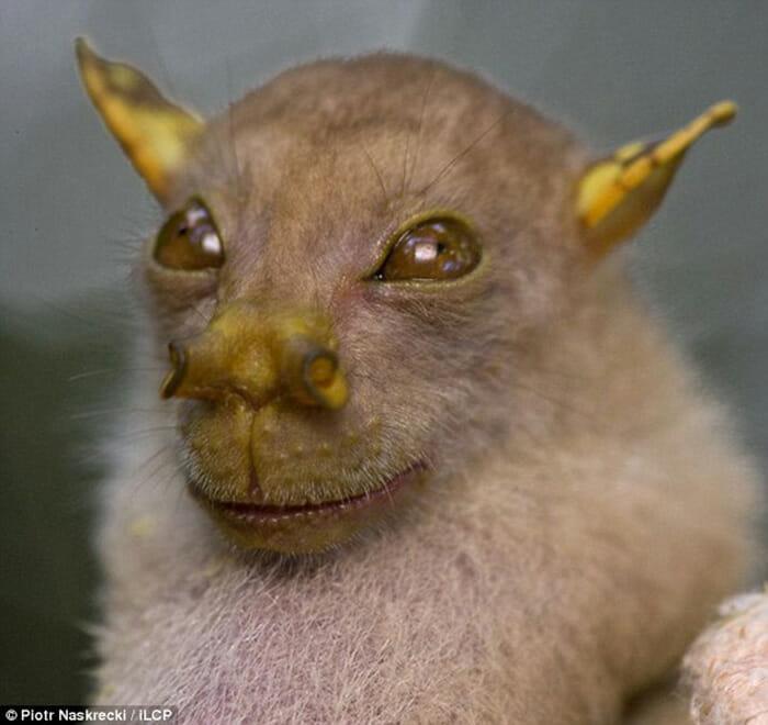 Morcego Mestre Yoda é Descoberto em Papua Nova Guiné